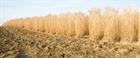 Report envisages UK bioenergy crop sector boom