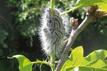 Pest & Disease Management - Caterpillars affecting ornamentals growers