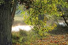 Sheffield black poplar planting aims to establish breeding population