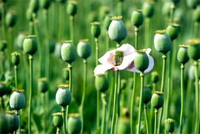 Naturally occurring opioid analgesics, including morphine, are derived from the opium poppy  | SCIENCE PHOTO LIBRARY