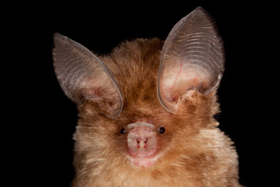 Exposure to bats or their secretions should be considered as a potential rabies risk for all countries and local advice should be sought regarding post-exposure treatment. | SCIENCE PHOTO LIBRARY