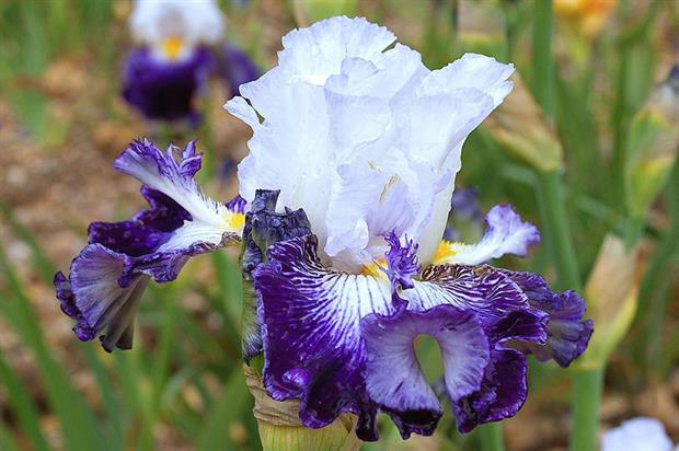 Iris 'Plume Bleue' - image: RHS