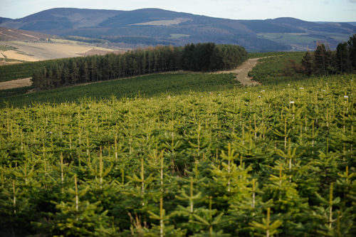 Needlefresh Plantation: growers are confident that the late planting will not affect the development of trees