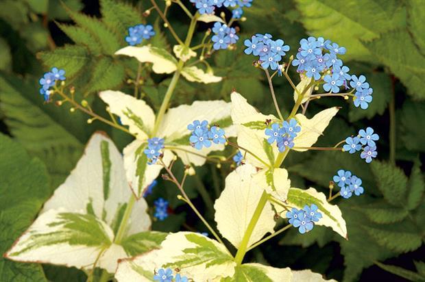 Brunnera macrophylla 'Dawson's White' - image: Floramedia
