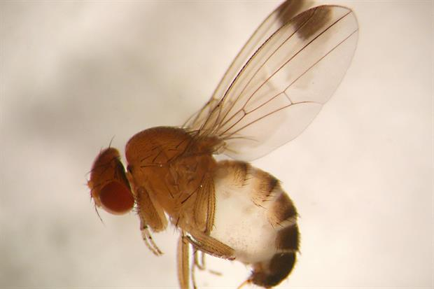 Drosophila: a difficult and complicated pest to control - image: © EMR