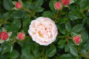 Rose 'Sweetie' by Germany's Tantau Roses wins top award at Glasgow International Rose Trials - photo: Norman Robb