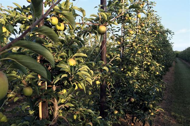 Zari orchard on AC Goatham & Son's Shrubbery Farm