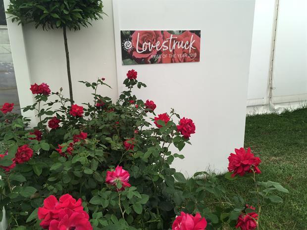 Dickson's Rosa 'Lovestruck', winner of Rose of the Year
